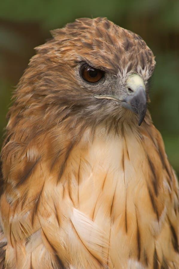 verticale Rouge-suivie de faucon image libre de droits