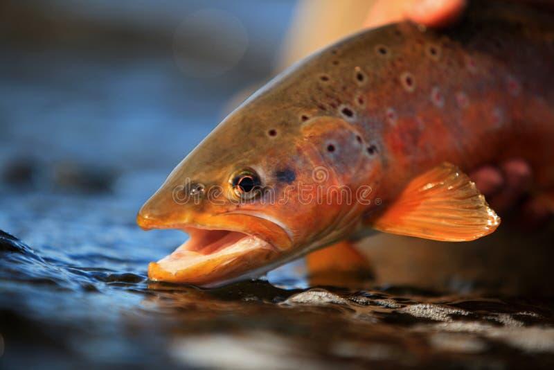 Verticale sauvage de truite de Brown photos libres de droits