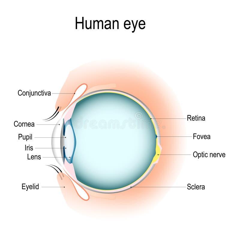 Verticale sectie het menselijke oog en oogleden vector illustratie