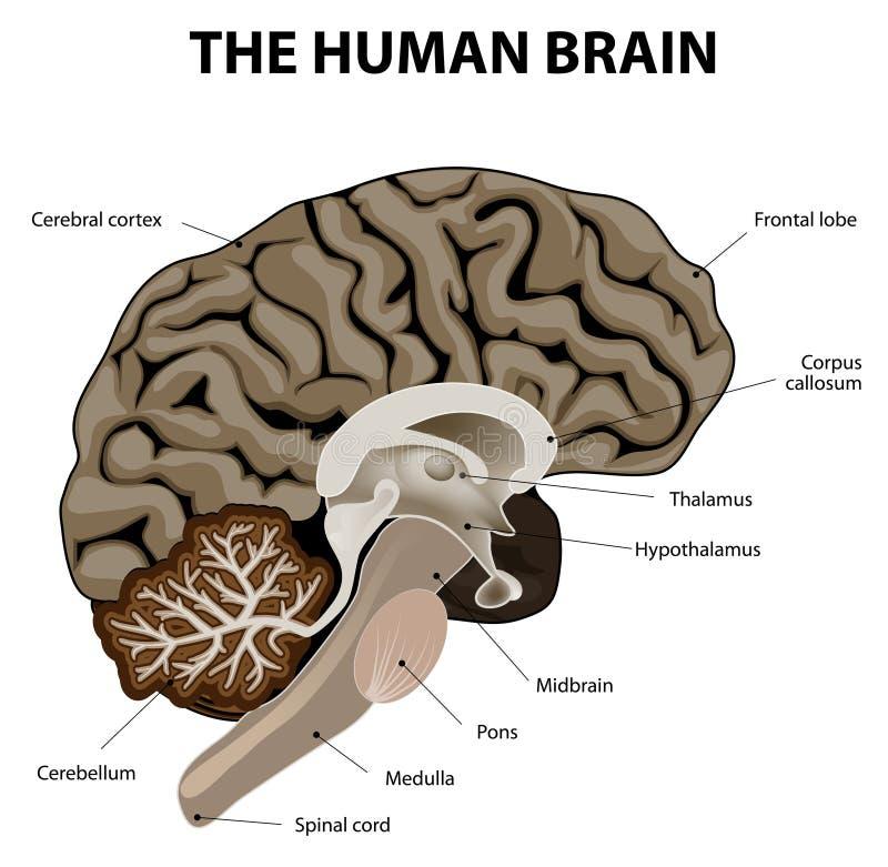 Verticale sectie van menselijke hersenen vector illustratie