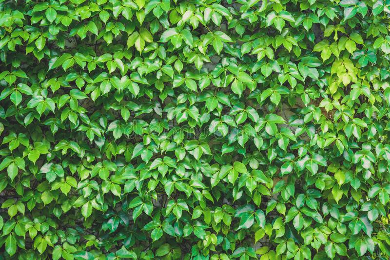 Verticale tuin, groene bladeren wandtextuur, met natuurlijk groen blad bedekte betonnen wandachtergrond, klimplant op de stenen m royalty-vrije stock fotografie