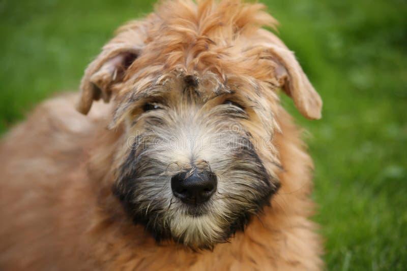 Verticale Wheaten de chien terrier photos stock