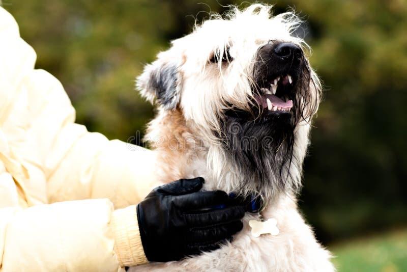 Verticale wheaten enduite molle irlandaise drôle de chien terrier photo stock