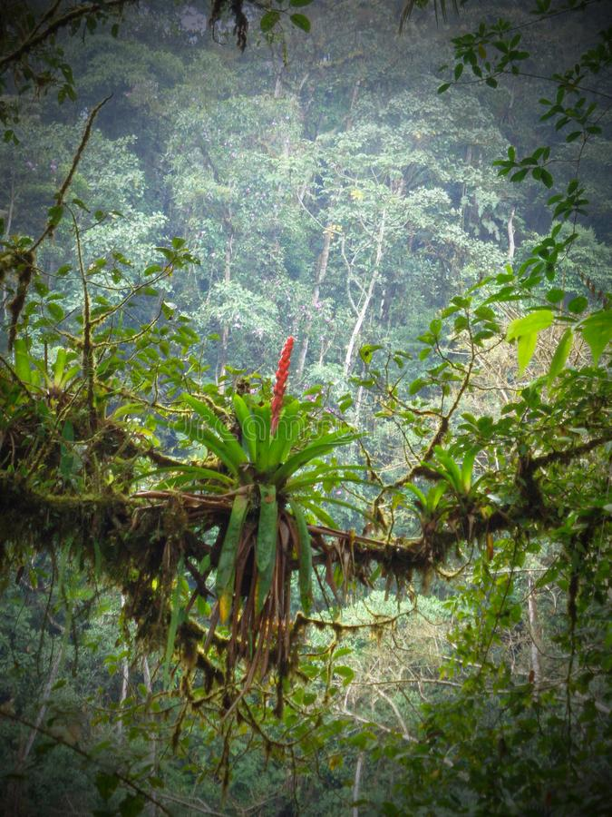 Vertically exposed bromeliad growing on host branch surrounded b royalty free stock images