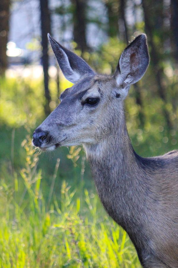 Vertically exposed close up head shot of beautiful roe deer in t royalty free stock photo