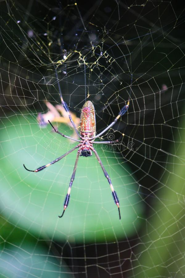 Vertically shot Golden Orb Spider spinning a web royalty free stock photography