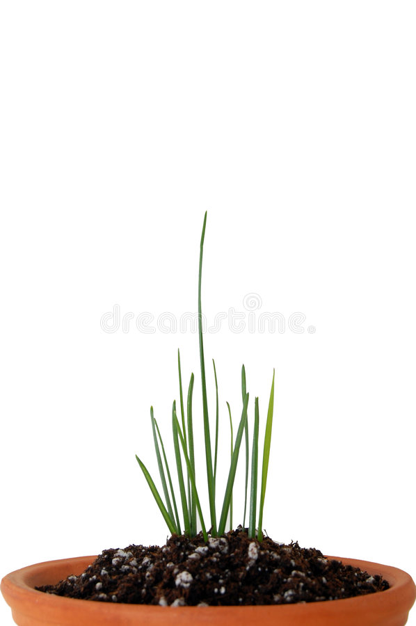 Download Verticle Leader In The Pack--grass Growing From Po Stock Images - Image: 4722094