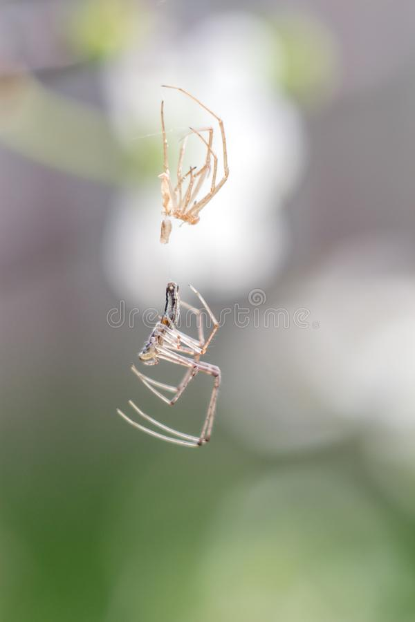 Vertientes del primer de la araña peladas en la web como un extranjero fotos de archivo