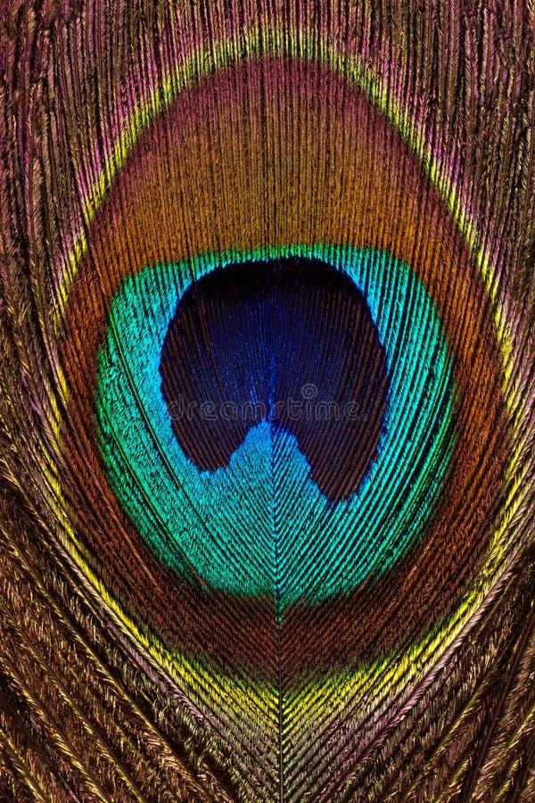 Vertikal bakgrund av den ljusa och färgrika fjädernärbilden för påfågel royaltyfri bild
