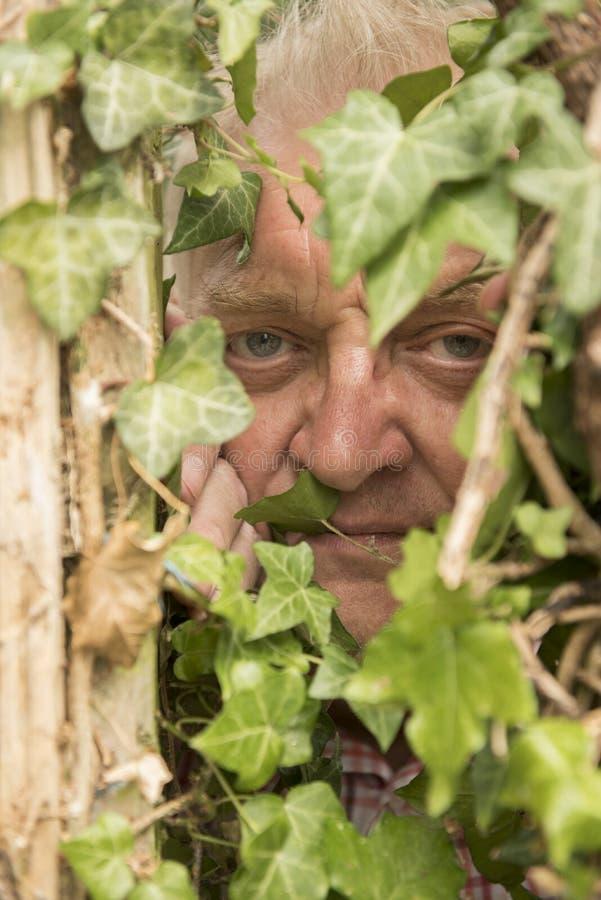 Vertikal bild av en mogen man som spionerar till och med en murgrönaväxt arkivbild
