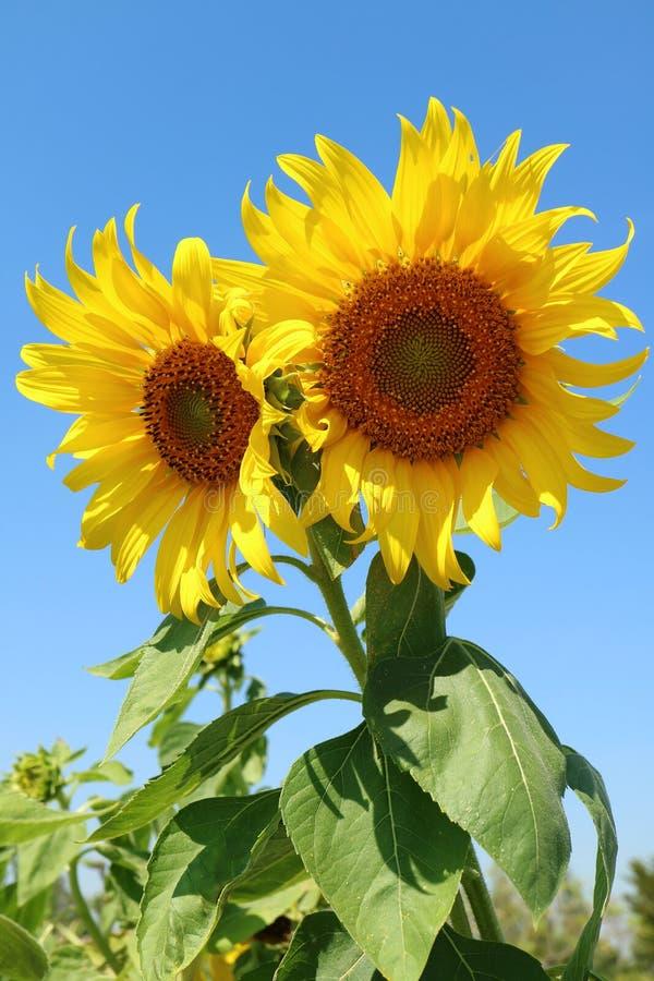 Vertikal bild av ett par av vibrerande gula solrosor mot Sunny Blue Sky royaltyfria bilder