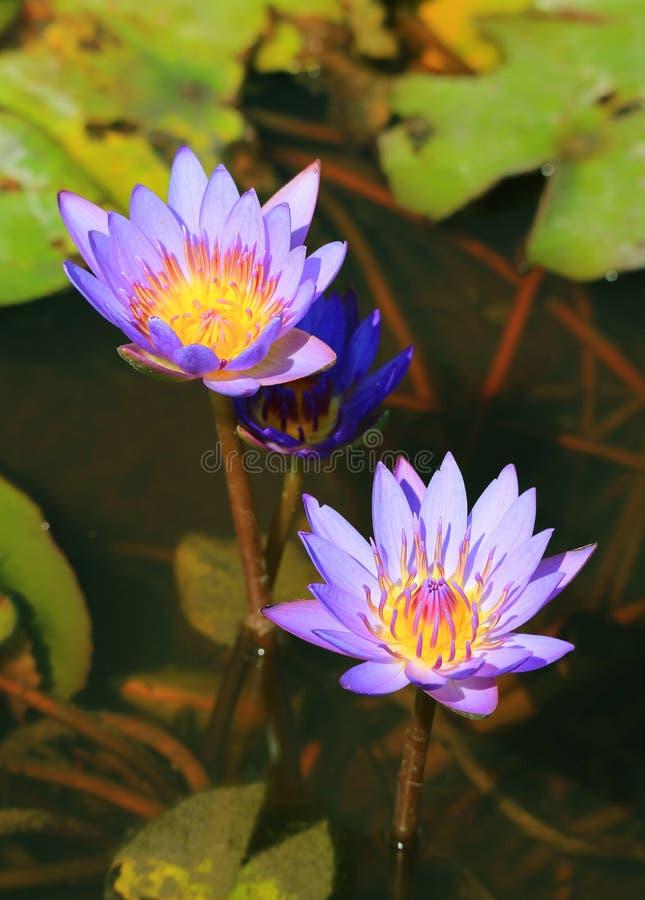 Vertikal bild av två blomma purpurfärgade Lotus Flowers i dammet med suddiga gröna sidor i bakgrund arkivbilder