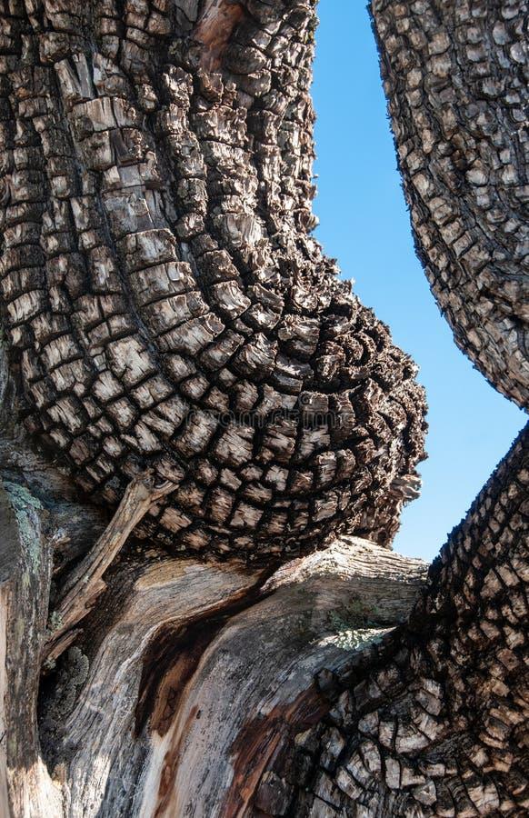 Vertikal detalj av alligatorenträdet som liknar en kvinnas torso arkivbild