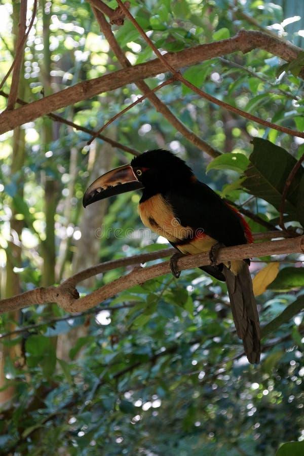 Vertikal stående av Collared Aracari toucanet på filialen fotografering för bildbyråer