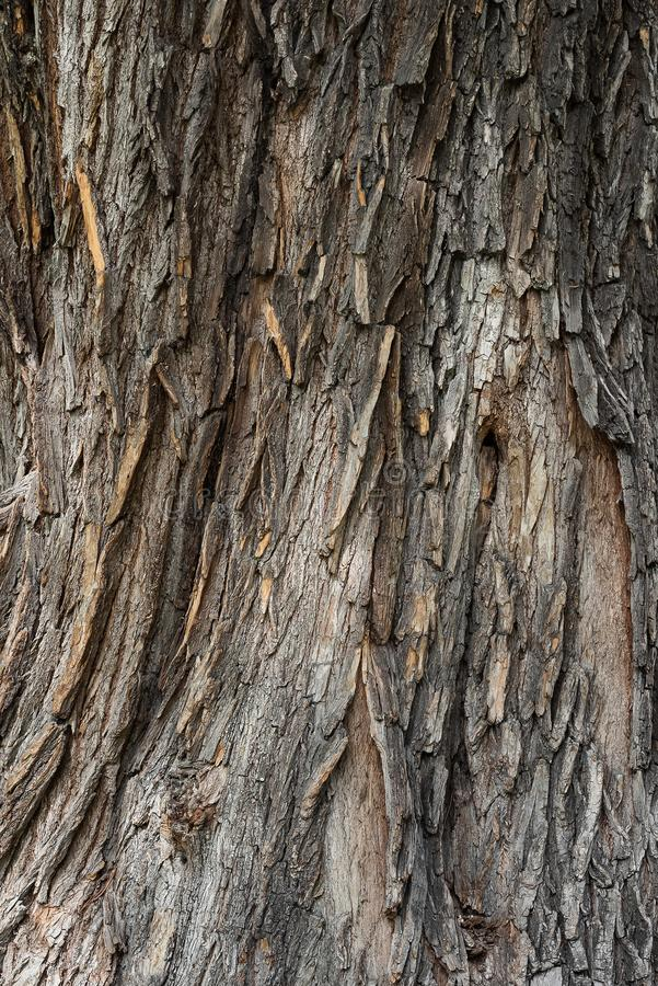 Vertikal textur av för ekskäll för gammalt trä träbakgrund arkivfoton
