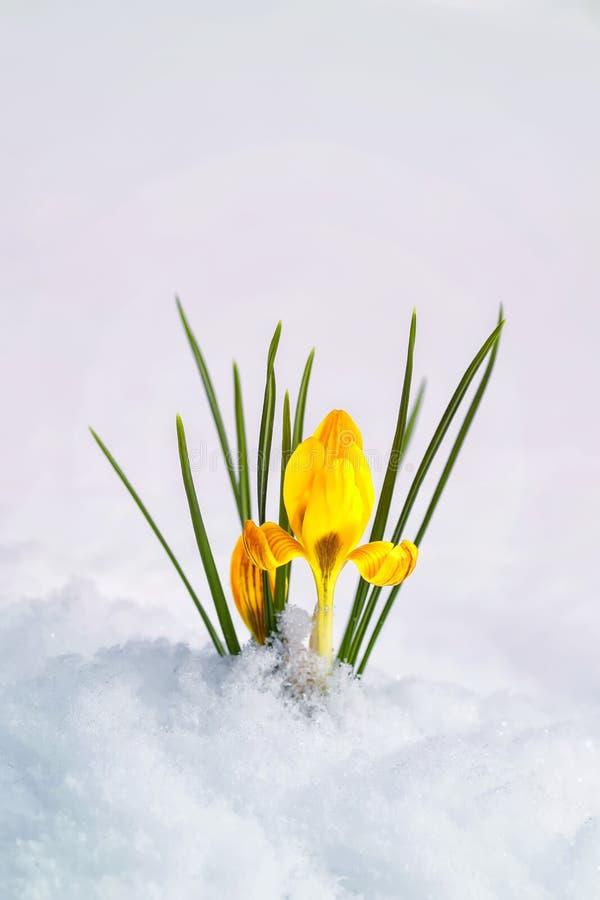 Vertikal vykort med de första delikata gula blommakrokusarna som från under gör deras väg den vita snön under den varma våren royaltyfri bild