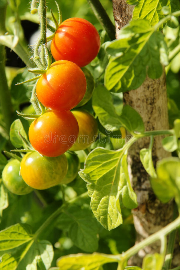 vertikala färgrika tomater för Cherry arkivfoto