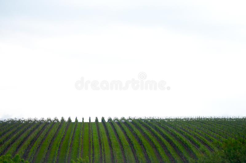 Vertikala linjer av vinrankor som ses mot en molnig himmel royaltyfri fotografi