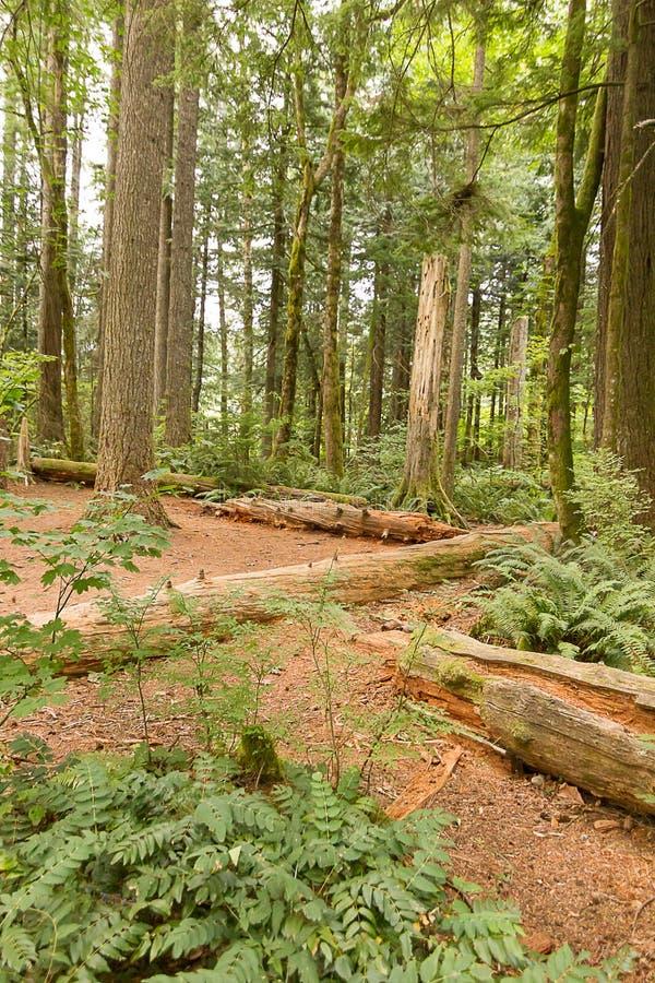 vertikala oftrunks av träd lägger över smutsbanan som tillbaka rymmer undervegetation arkivfoton