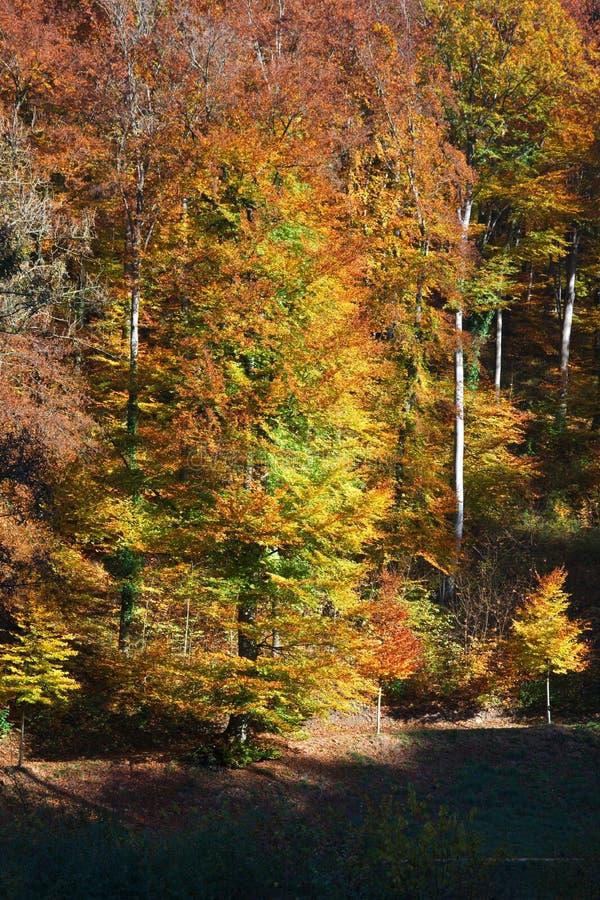 Vertikale Ansicht des schönen Herbstwaldes stockbild