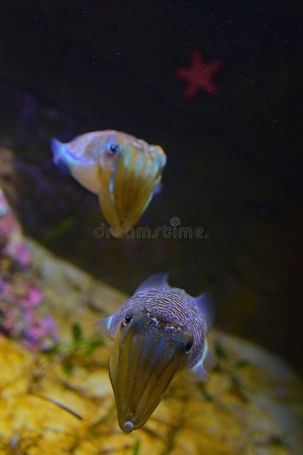 Vertikale Ansicht eines Paares netter Trauerkopffüßer mit roten Starfish im Hintergrund stockbild