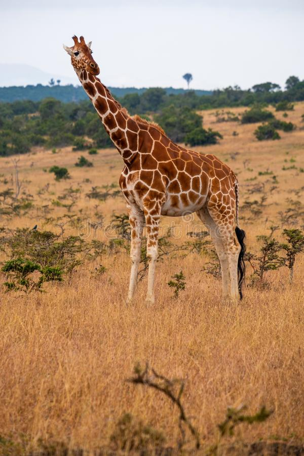 Vertikale Aufnahme einer Giraffe in einem Dschungel in Kenia, Nairobi, Samburu lizenzfreies stockfoto