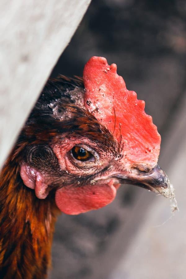 Vertikale Fotografie des traurigen braunen Hennenabschlusses oben Unhealty, das Huhn schaut Tiermissbrauch, Grausamkeit zu den Ti stockfotos