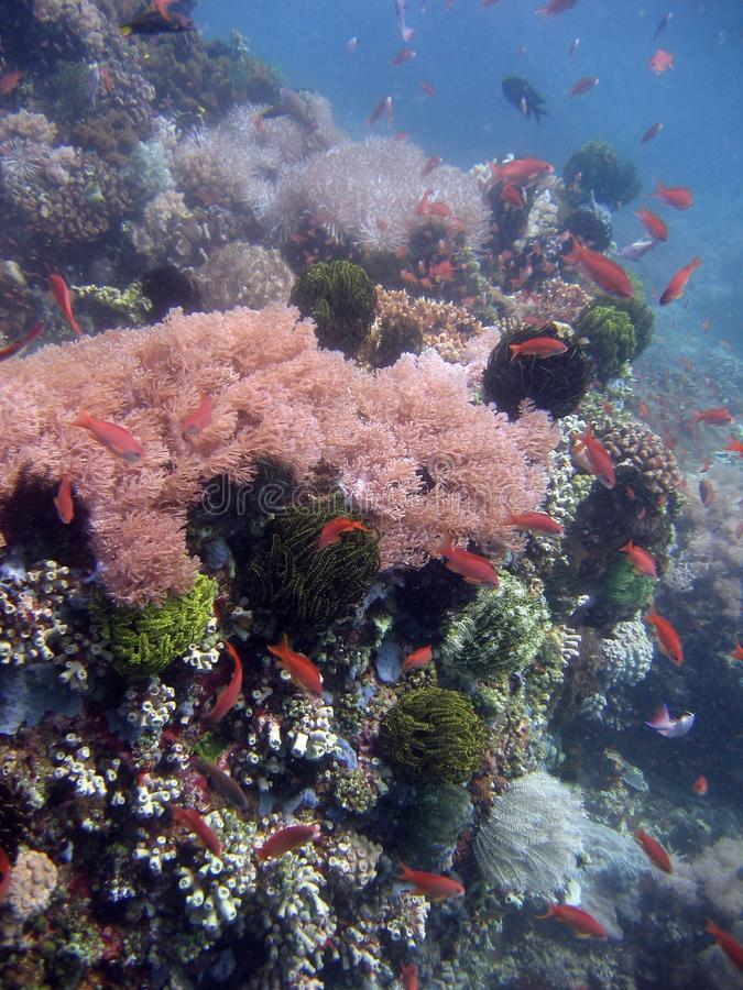 Vertikale Nahaufnahme einer schönen rosa Koralle auf einem Korallenriff mit roten Fischen in der Nähe lizenzfreies stockbild