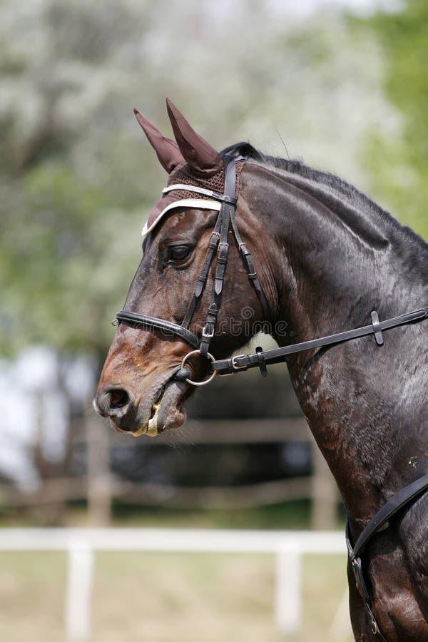 Vertikale Porträtnahaufnahme eines springenden Pferds der reinrassigen Show lizenzfreie stockfotos