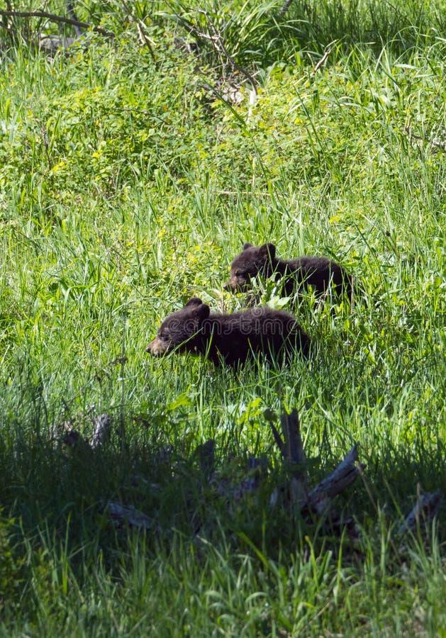 Vertikale schwarzes Bärenjunges des Bild-zwei im üppigen Gras lizenzfreies stockbild