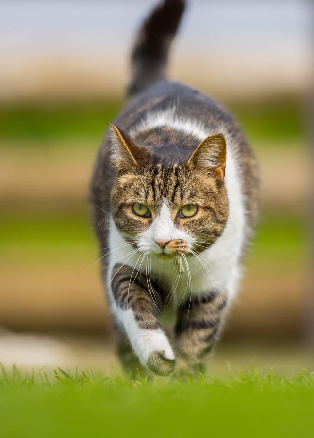 Vertikale vordere Katze auf dem Prowl lizenzfreie stockfotos