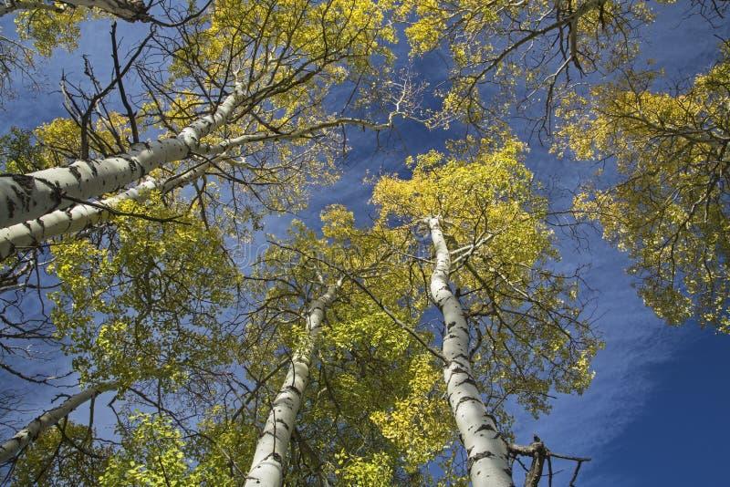 Vertikale Wipfelansicht von Fall Aspen-Bäumen stockbilder