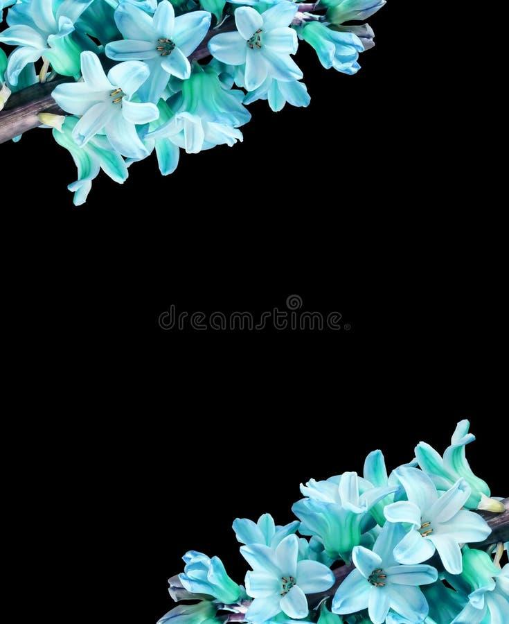 Vertikaler Rahmen für blaue Hyazinthe-Blumen mit isoliertem schwarzem Hintergrund in der Textmitte, Schrift Großes Foto lizenzfreies stockbild