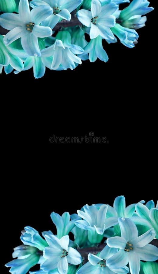 Vertikaler Rahmen für blaue Hyazinthe-Blumen mit isoliertem schwarzem Hintergrund in der Textmitte, Schrift Großes Foto stockbild