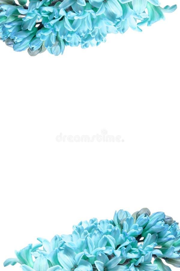 Vertikaler Rahmen für blaue Hyazinthe-Blumen mit isoliertem weißem Hintergrund in der Textmitte Großes Foto stockbilder