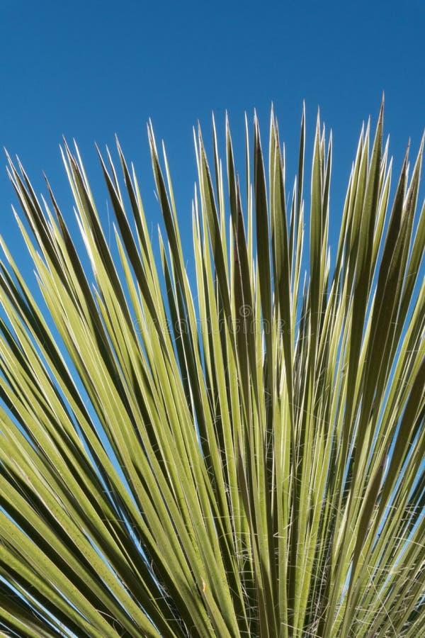 Vertikaler südwestlicher Yuccaabschluß oben lizenzfreie stockbilder