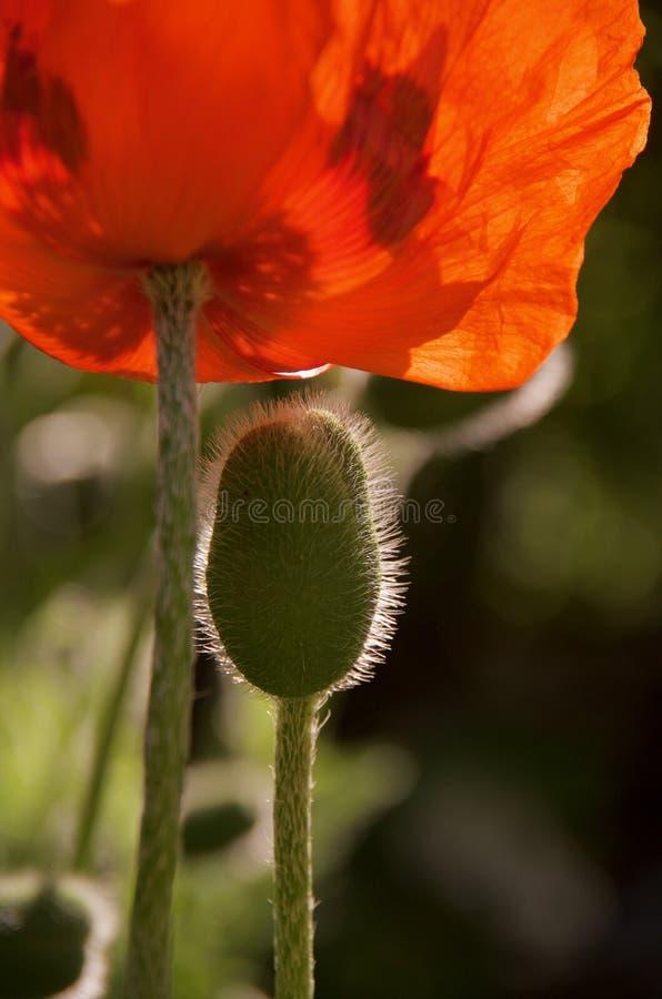 Vertikaler Schuss einer haarigen Knospe und der hochroten Blume einer orientalischen Mohnblume stockfotografie