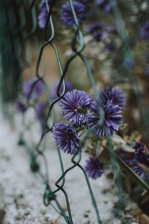 Vertikaler Schuss von purpurroten Asterblumen nahe einem Kette-verbundenen Zaun mit unscharfem Hintergrund lizenzfreies stockbild