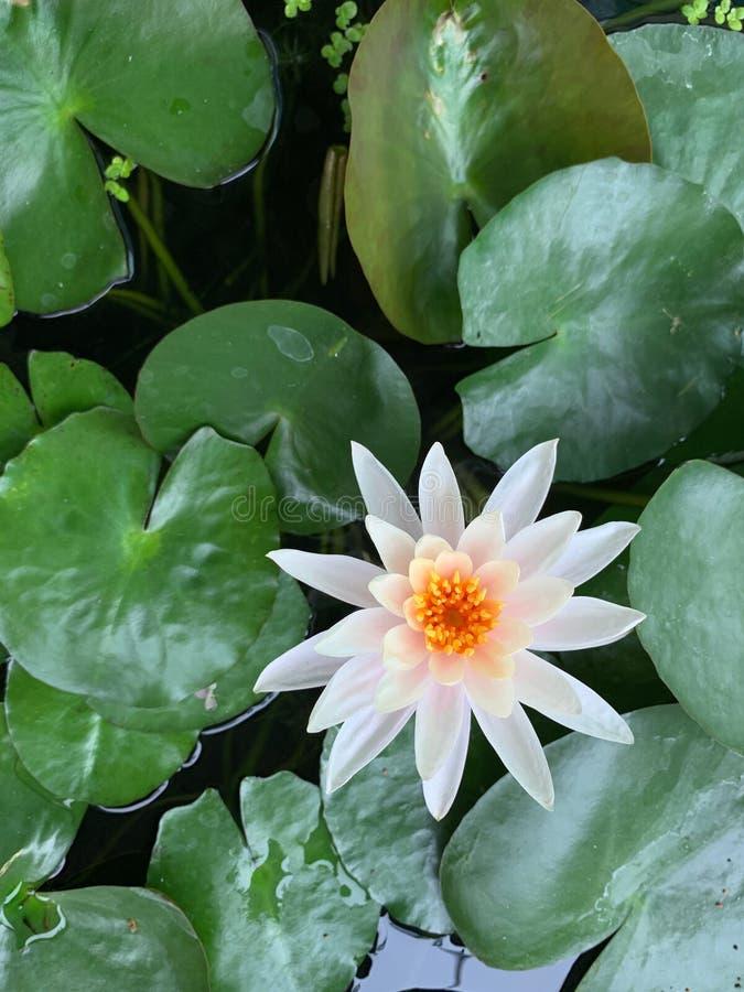 Vertikales Bild der Blume des weißen Lotos, gelber Blütenstaub auf Lotosblatt, grüner Buddhismus stockbild