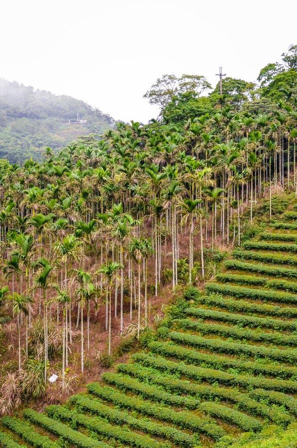 Vertikales Bild der schwermütigen Landschaft mit den terassenförmig angelegten Teeplantagen umgeben durch tropischen Wald und Pal lizenzfreies stockfoto