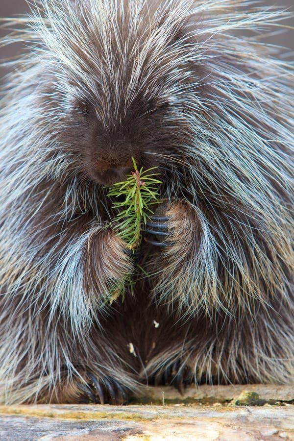 Vertikales Bild des Stachelschweins stockbilder