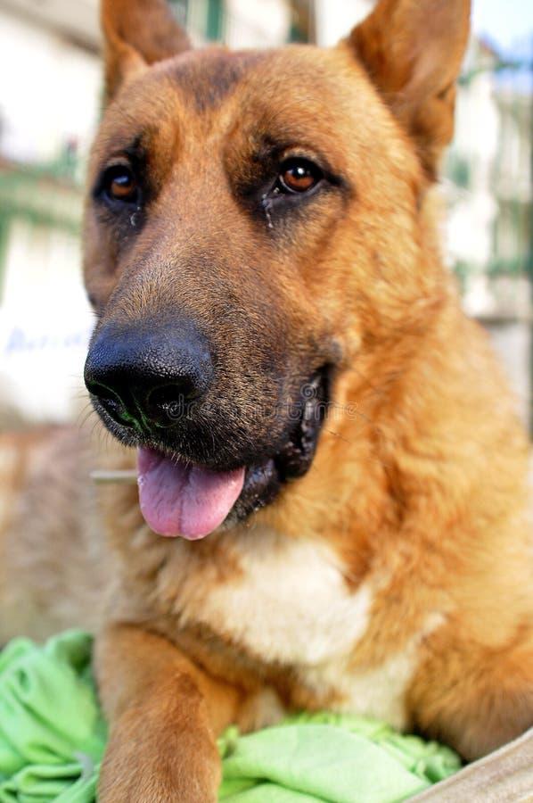 Vertikalt closeupskott av en gullig hund som lägger på jordningen med suddig bakgrund arkivfoton