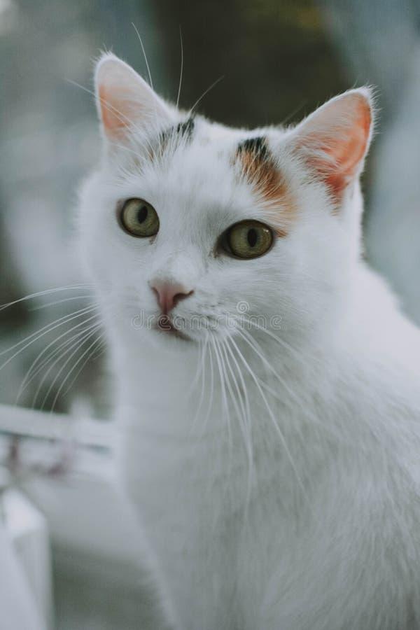 Vertikalt closeupskott av en vit katt som ser in mot kameran med suddig bakgrund royaltyfri fotografi
