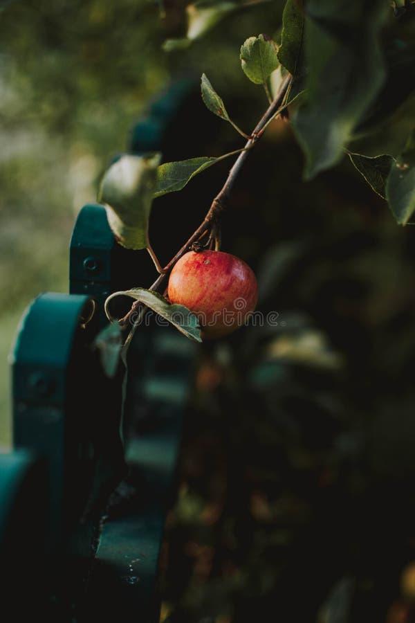 Vertikalt closeupskott av ett äpple på en filial med suddig naturlig bakgrund royaltyfri fotografi