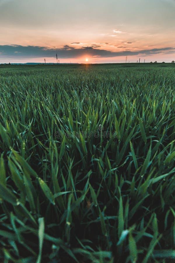 Vertikalt foto av det guld- gula korn- eller vetefältet som är bakbelyst vid solen på solnedgången med ett orange himmel- och kop arkivfoton