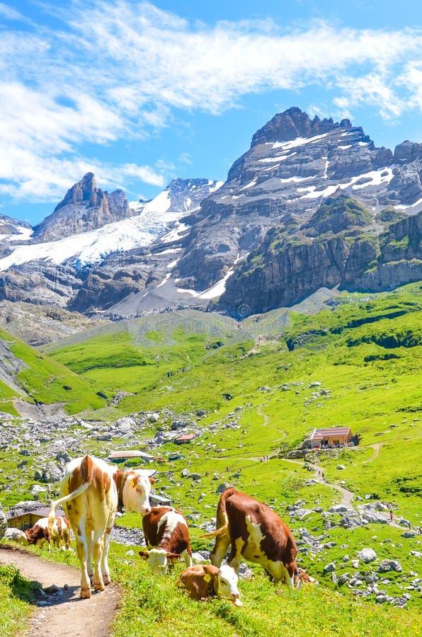 Vertikalt fotografi av kor på gröna kullar i schweiziska fjällängar nära Kandersteg Berg och vaggar i bakgrund Schweiz sommar fotografering för bildbyråer