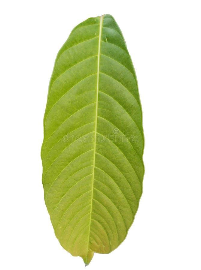 Vertikalt grönt lövverkblad med kopieringsutrymme som isoleras på vita bakgrunder stock illustrationer