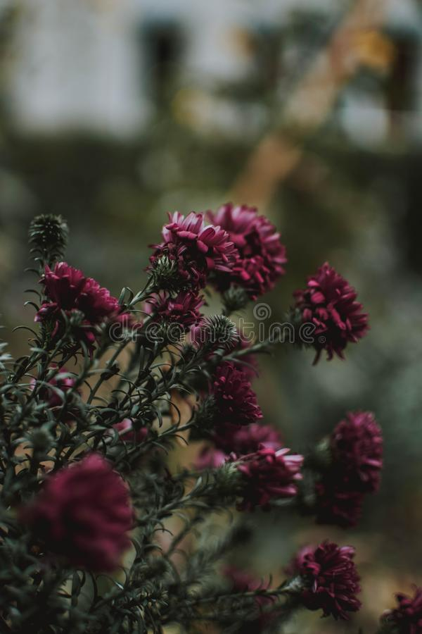 Vertikalt skott för selektiv fokus av purpurfärgade petaled blommor med suddig naturlig bakgrund royaltyfria bilder