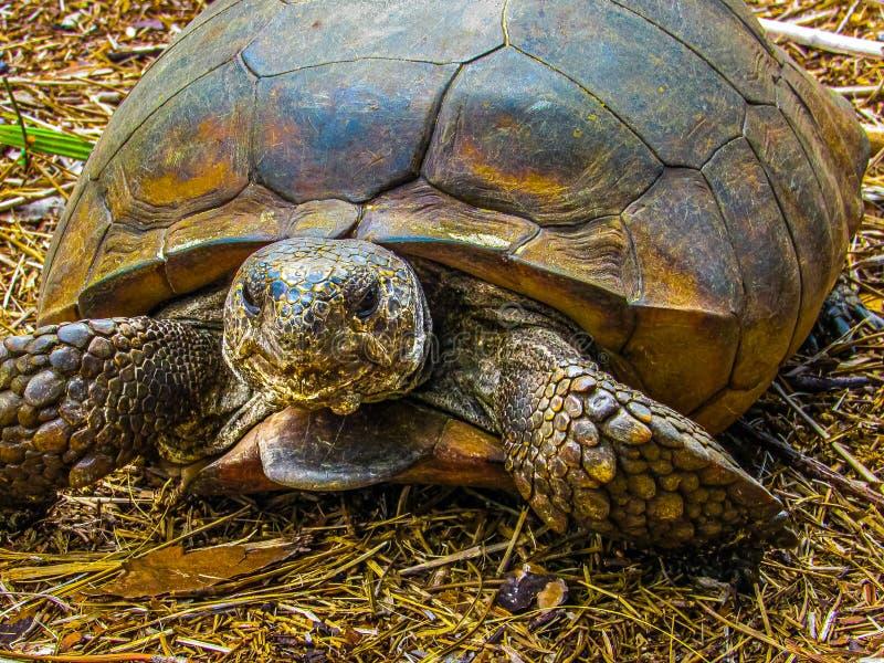 Vertraulich mit einer Gopher-Schildkröte stockbilder
