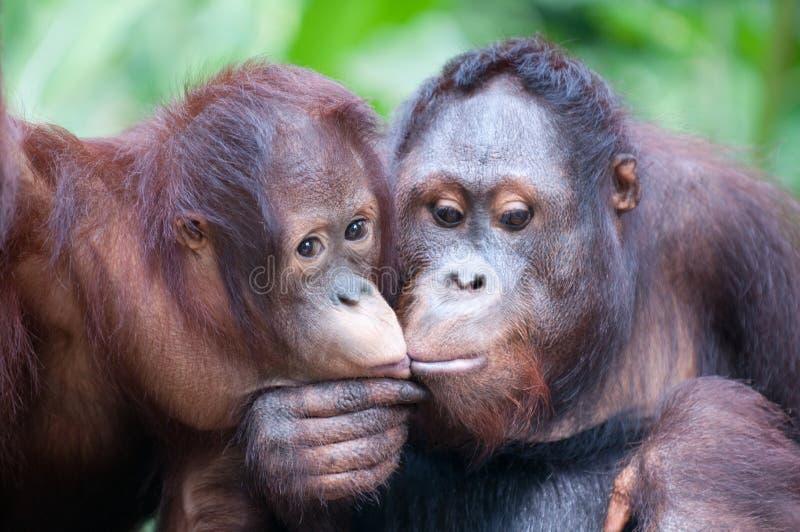 Vertrouwelijke ogenblik en de kus van het twee het volwassen Orangoetansaandeel stock fotografie